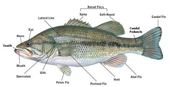 Flying fish anatomy